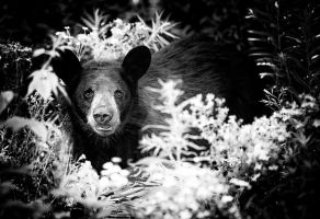 Black Bear by melissa3339