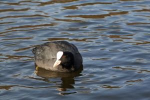 black and white waterbird by priesteres-stock