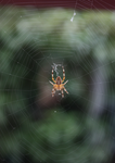 Spider on web by LeafsStock