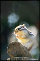 Chipmunk in shade of tree by simzcom