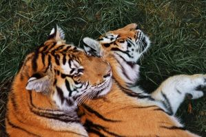 Tigers by MacPiraz