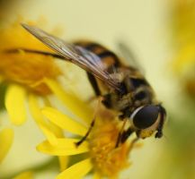 Hoverfly by wingsoftheosiris