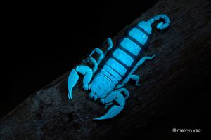 UV fluorescence Scorpion by melvynyeo