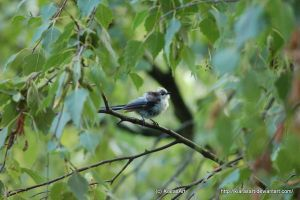 Long tailed tit in tree by KIARAsART
