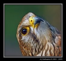 Kestrel III by andy-j-s