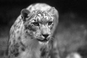 Snow Leopard 18 by Art-Photo