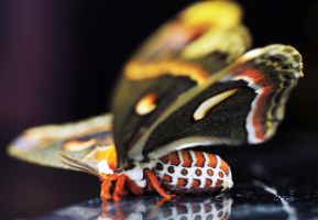Cecropia Moth close up by Meddling-With-Nature