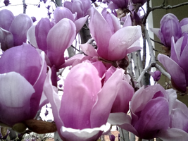 Tulip Tree Blossoms, Closeup by mouselady