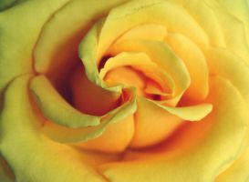 Rose Closeup by LizzDurr121
