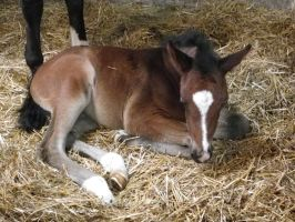 Light bay lying down foal stock by popui