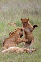 Lion Cubs Fighting by eight-eight