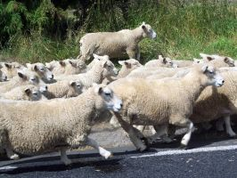 Sheep on road 3 by OWTC-Stock