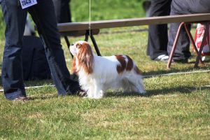 Spaniel 3 (Iines in a dog show) by Anri82