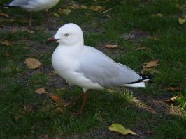 Silver Gull by Twister4evaSTOCK