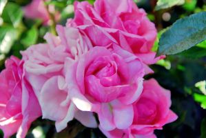 Rose collection 5 by Aishlling