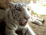 Another White Tiger by cattysmith