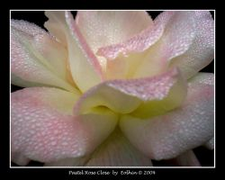 Pastel Rose Close 161 by Eolhin