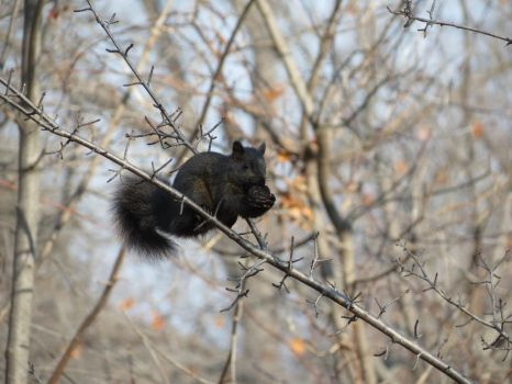 Black squirrel balanced meal by bellybuttongazer