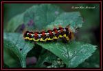 Smartweed Caterpillar by aperfectmjk