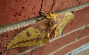 Imperial Moth by Anachronist84