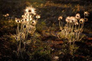 Small Pasque Flowers by Irkaaa