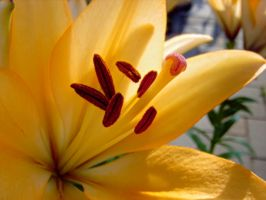 Lily X by Paul774