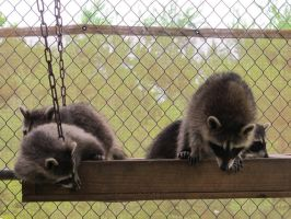 Young Raccoons 5 by Windthin