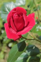 Red Rose by Flicksi