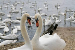 Courting Swans by Loves2dive