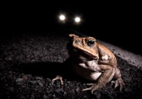 Toad in the headlights by deanbradshaw