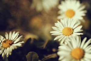 Golden daisies. by SofieCFriis