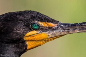 Cormorant eye by CyclicalCore