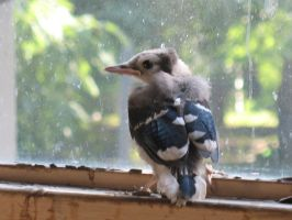 Fledgling Blue Jay Stock 3 by Oddstuffs