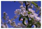 Apple Blossom by bendecida