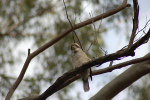 Kookaburra by Dandelion-lion-stock