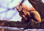 red squirrel by cloe-patra