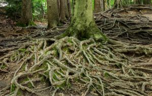 Roots by philipbrunner