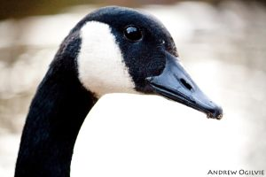 Canada Goose _02 by PrimalOrB