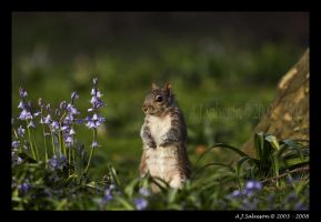Grey Squirel In Blue Bells by andy-j-s