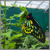 Cairns Birdwing Butterfly by Mogrianne