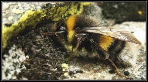 Bumble Bee by ValdesBG