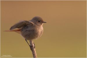 Common Redstart - f. by ClaudeG
