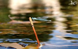 Dragonfly by Kwort