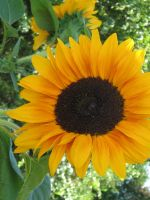 Sun Flower by cam-stock