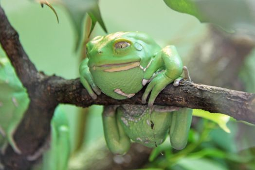Tree frog by BetaDraconis