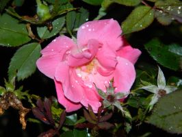 Pink Rose and Raindrops by leighbennett