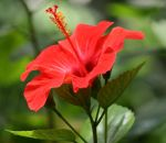 red hibiscus 4 by ingeline-art