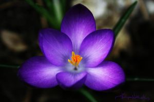 The Electric Crocus by Midnyte-Sun