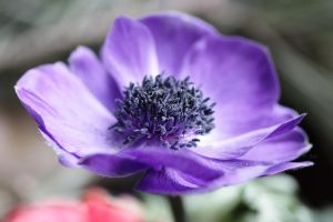 Purple Anemone Coronaria by Skaldur