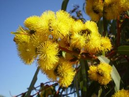Flowering Red Capped Gum I by Twister4evaSTOCK